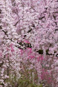 近衛邸跡 枝垂れ桜の写真素材 [FYI01595492]