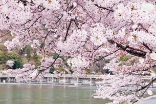 嵐山渡月橋と桜吹雪の写真素材 [FYI01595547]
