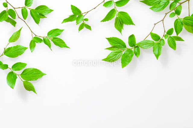 エノキの新緑の枝の写真素材 [FYI01595611]