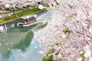 伏見十石舟と桜吹雪の写真素材 [FYI01595863]