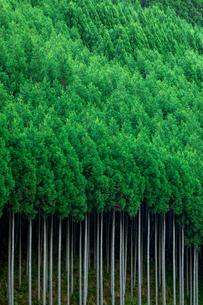 北山杉の写真素材 [FYI01596215]