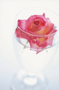 バラを浮かせたグラスの写真素材 [FYI01597372]