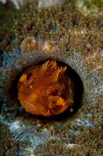 トウシマコケギンポ(オレンジ)の写真素材 [FYI01597440]