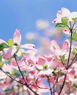 青空と花水木の写真素材 [FYI01597514]