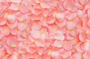 一面に敷詰められたピンクのバラの花びらの写真素材 [FYI01597697]
