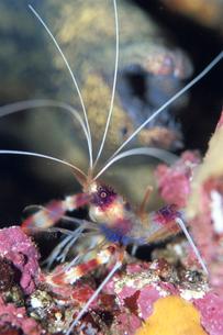 海中のオトヒメエビのアップの写真素材 [FYI01597932]