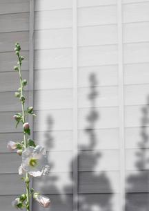 西日さす外壁をイメージした背景と葵の花のイラスト素材 [FYI01598226]