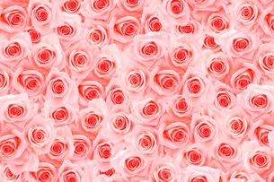 一面に敷詰められたピンクのバラの写真素材 [FYI01598532]