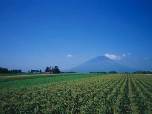 トウモロコシ畑と羊蹄山の写真素材 [FYI01598779]