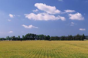 水田の稲穂と雲の写真素材 [FYI01598789]