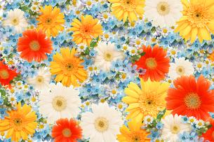 一面に敷詰められたガーベラと小花の写真素材 [FYI01598855]