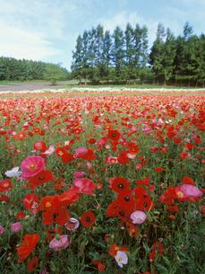 花畑の写真素材 [FYI01599015]