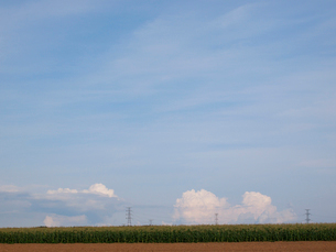 トウモロコシ畑と空と送電線の写真素材 [FYI01599106]