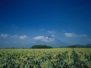 トウモロコシ畑と羊蹄山の写真素材 [FYI01599327]