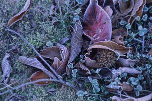 霜が降りた落葉と栗の写真素材 [FYI01599329]