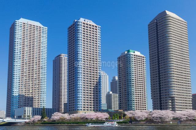 桜と高層マンション群の写真素材 [FYI01599557]