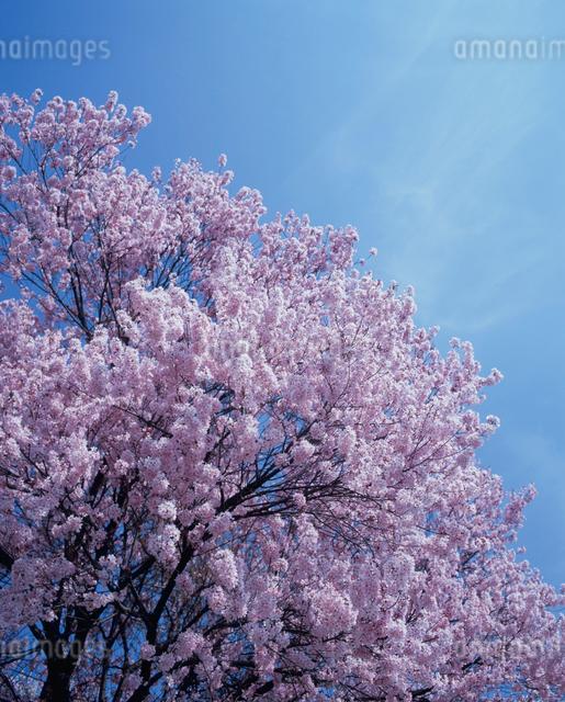 桜の写真素材 [FYI01599564]