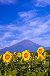 ひまわりと富士山と湧く雲の写真素材 [FYI01599650]