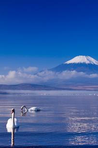 白鳥と富士と山中湖の写真素材 [FYI01599728]