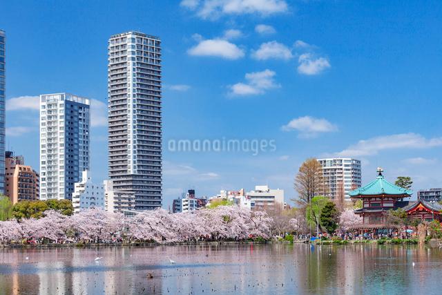桜並木とビル群,上野公園の写真素材 [FYI01599839]