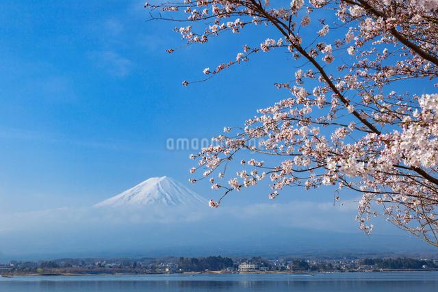 朝霧の富士山と桜の写真素材 [FYI01600102]