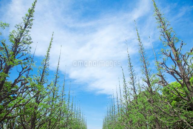 若葉の銀杏並木と雲の写真素材 [FYI01600117]