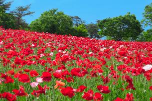 ポピーの咲く丘の写真素材 [FYI01600120]