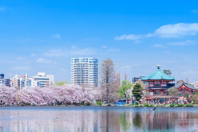 不忍池と桜並木の写真素材 [FYI01600184]