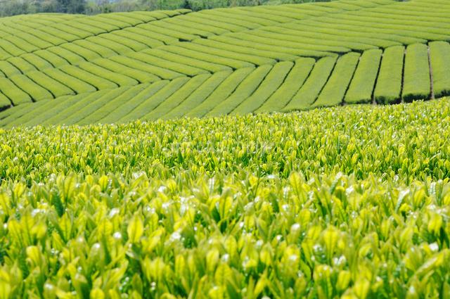 茶畑と新芽の写真素材 [FYI01600243]