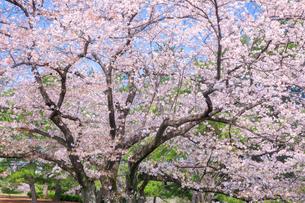 桜の写真素材 [FYI01600296]