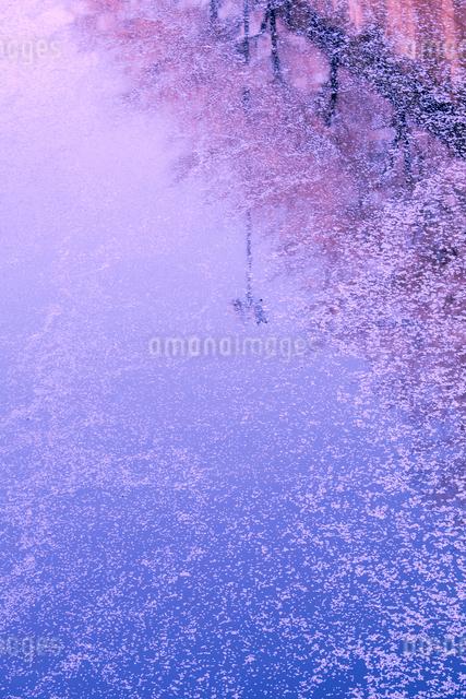 目黒川の花筏の写真素材 [FYI01600305]