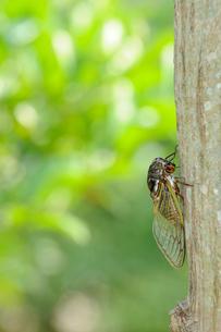 木にとまるクマゼミの写真素材 [FYI01600438]