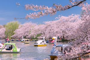 桜並木と不忍池のボートの写真素材 [FYI01600440]