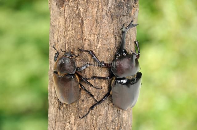 カブトムシのオスとメスの写真素材 [FYI01600512]