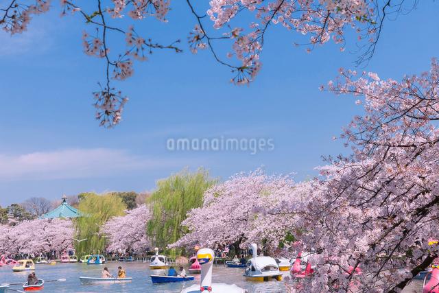 桜並木と不忍池のボートの写真素材 [FYI01600518]