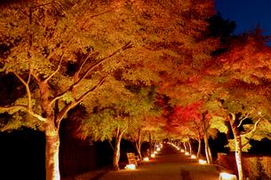 ライトアップのもみじ回廊の写真素材 [FYI01600637]