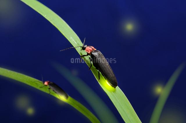 草にとまり光る蛍の写真素材 [FYI01600664]
