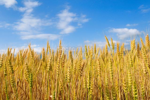 麦畑の写真素材 [FYI01600816]