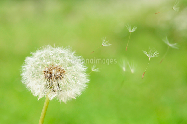 タンポポの綿毛の写真素材 [FYI01600880]
