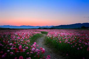 夕暮れのポピー畑と小道の写真素材 [FYI01601052]
