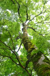 苔むしたモミジの大木の写真素材 [FYI01601065]