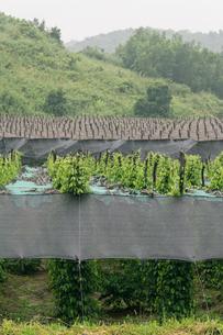 胡椒畑の写真素材 [FYI01601180]