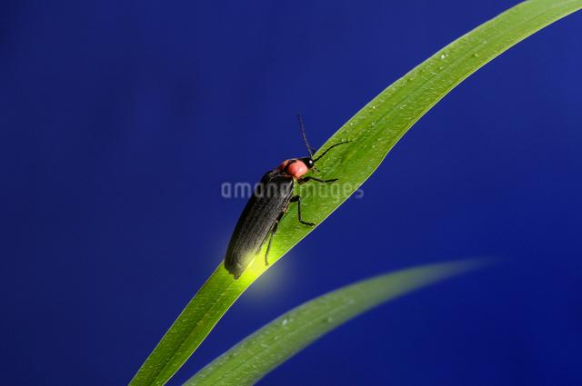 草にとまり光る蛍の写真素材 [FYI01601207]