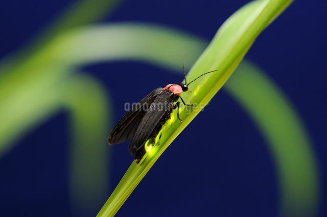 草にとまり光る蛍の写真素材 [FYI01601280]
