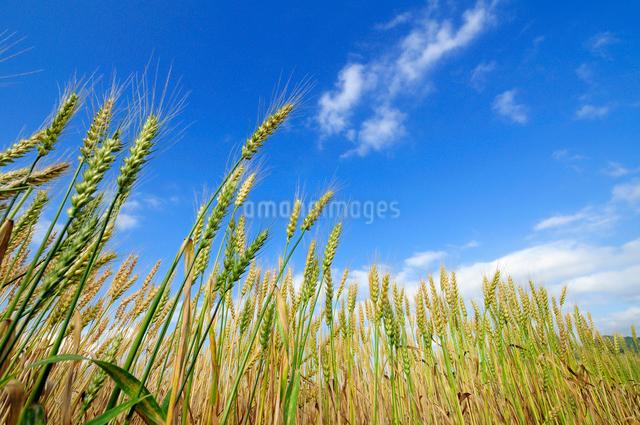 麦畑の写真素材 [FYI01601362]