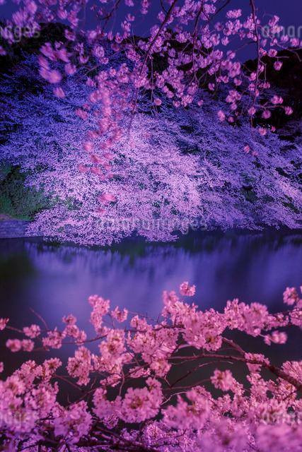 ライトアップの桜/千鳥ヶ淵の写真素材 [FYI01601364]