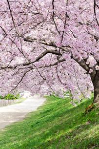 桜並木の写真素材 [FYI01601473]