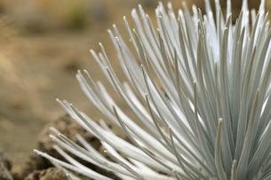 ハワイ島マウナケアの銀剣草のアップの写真素材 [FYI01601560]