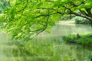 新緑の映り込む池の写真素材 [FYI01601636]