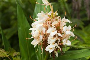 熱帯雨林に咲くイエロージンジャーの写真素材 [FYI01601665]